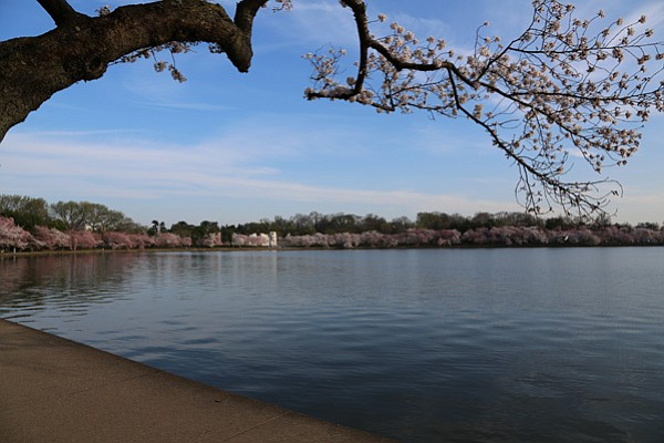 Several dozen cherry trees have been on the National Mall...