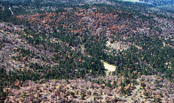 This aerial view shows Jeffrey pine and oak mortality in ...