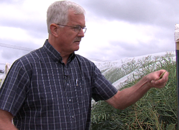 Jim Radtke inspects a genetically edited canola pod, May 19, 2015.