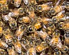 UC San Diego Study Offers Insight Into Bee Colony Collapse
