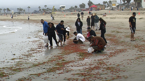 Beachgoers look at Tuna crabs on Mission Beach, June 12, ...