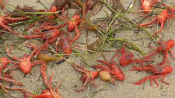 Tuna crabs blanket the shoreline at Ocean Beach in San Diego, June 12, 2015.