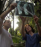 Vets Damien Chase and Sandra Corr, examine an X-ray of a gorilla's arm. Shufai was damaged in the crossfire when his mother was shot for the illegal bushmeat trade in Cameroon.