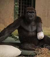 Shufai a gorilla is in recovery after the amputation of his arm. The operation was successful and he is looking forward to a pain free life back with the rest of his troop.