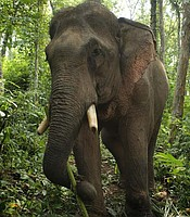 An elephant in Laos who has recovered well from a medical procedure to fix an infected leg.