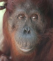 A rescued orangutan relaxes amongst a protected forest reserve in Borneo.