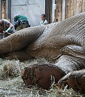 Ninio, an elephant, has treatment for an infected tusk at Poznan Zoo in Poland.