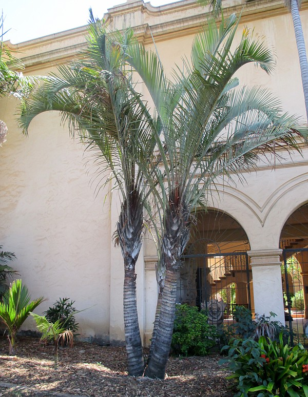 The Dypsis decaryi palm in Balboa Park, Aug. 4,2015.