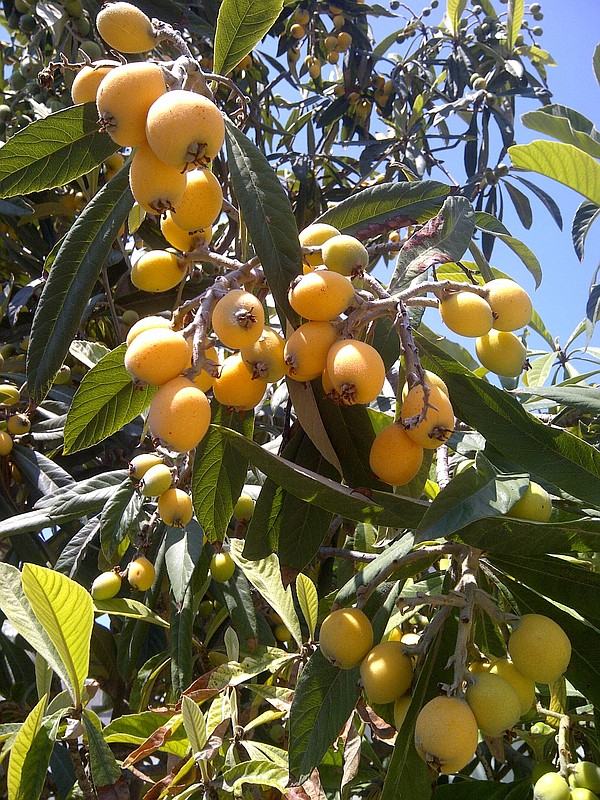 Pictured is a loquat tree, which is produced in in mid-spring. The flavor of ...