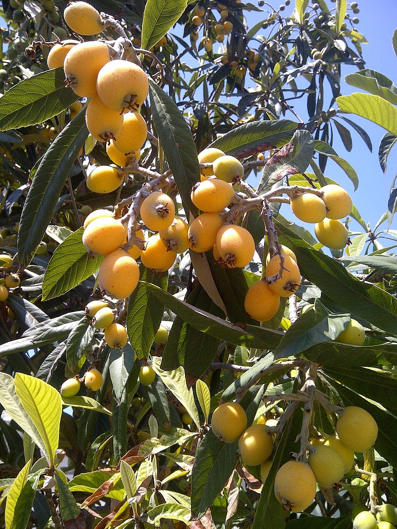 Pictured Is A Loquat Tree Which Produced In Mid Sp