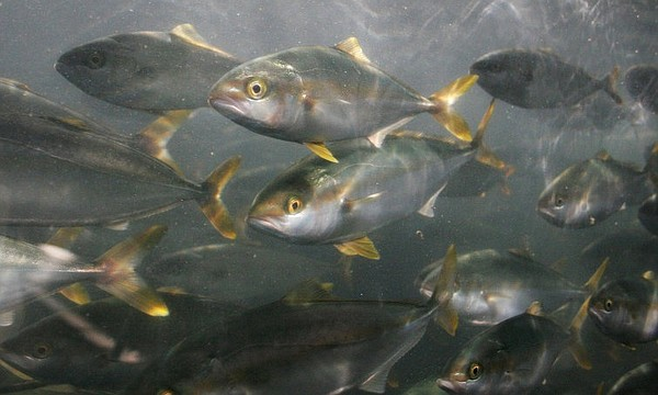 A school of yellowtail swim in this undated photo.