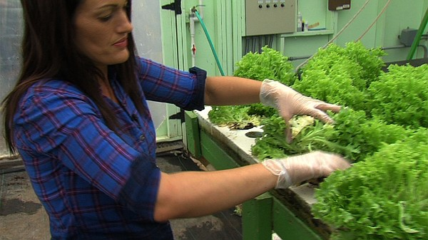 Jennifer Pankey clips mature lettuce that's been grown at...
