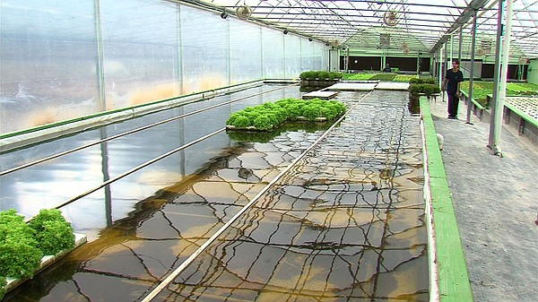 Long water-filled tanks in the Solutions Farms aquaponics greenhouse are show...