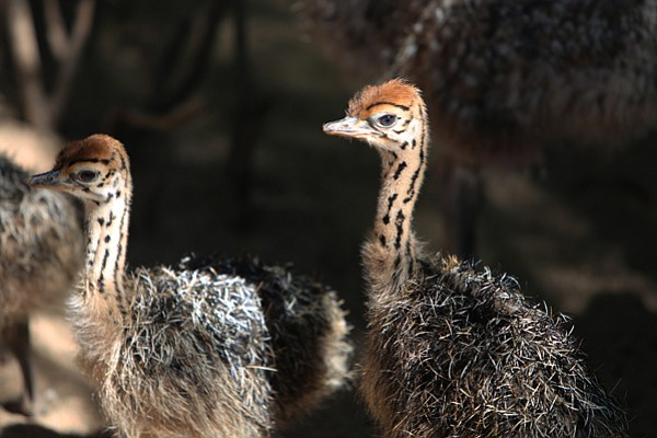 Two ostrich chicks