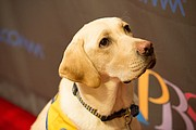 A service dog gets a close up on the GI Film Festival red carpet.