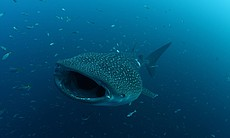 Whale Shark, Cenderawasih Bay, Indonesia. (65715)