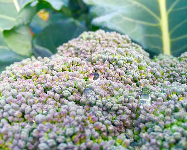 Drops of dew rest on a large head of broccoli at the Paci...