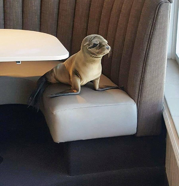 Sea lion pup enjoys the ocean view at The Marine Room, Fe...