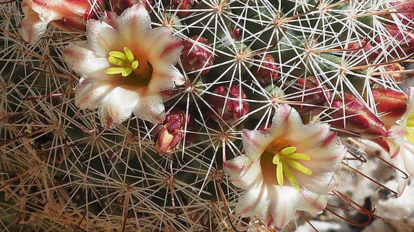 A fishhook cactus flower is shown in Torote Canyon in Anza-Borrego Desert Sta...