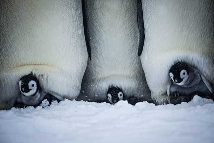 Three Emperor penguin chicks on their parent's ...