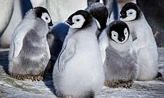 Group of penguin chicks with chick in foregroun...