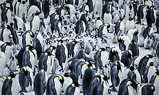 Busy huddle of Emperor penguin adults with chic...