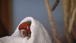 A wounded parrot attempts to recover at a rescue center in Jamul, Feb. 24, 20...