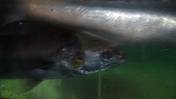 Adult sea bass swim in a tank at the Carlsbad hatchery ru...