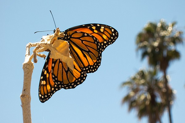 A monarch butterfly rests on a plant in San Diego, May 29...