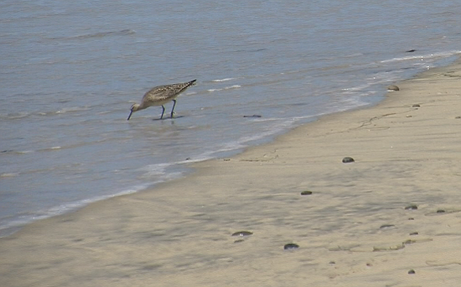 A shorebird hunts for prey at Torrey Pines State Beach, March 29, 2016.