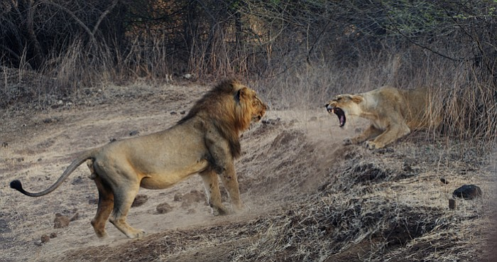 NATURE: India's Wandering Lions | KPBS