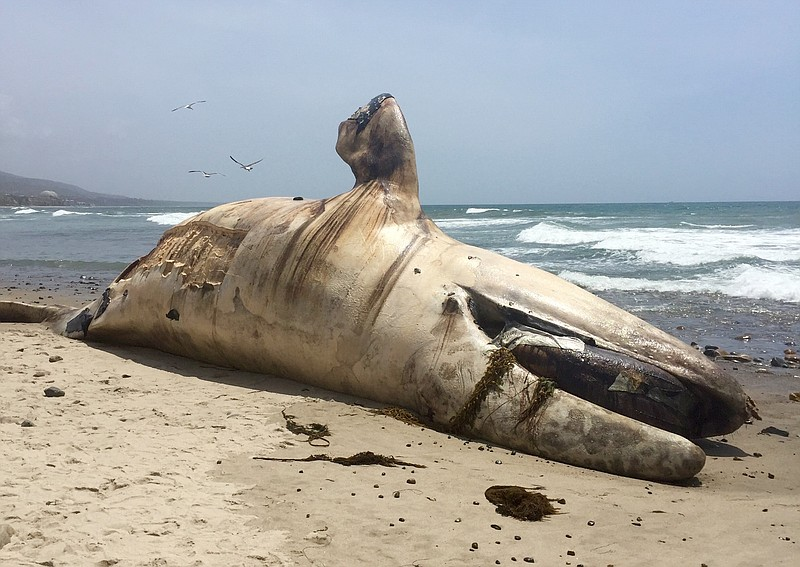 The carcass of a dead whale that washed up on L...