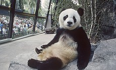 A giant panda visits San Diego Zoo from China, ...
