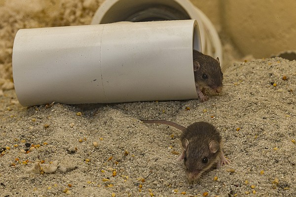 Pacific pocket mice, which make their homes underground, ...