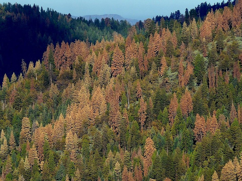California To Fire Up Burners To Battle Dead Tree Epidemic | KPBS