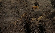 A dog near the site of the Border fire, June 21...