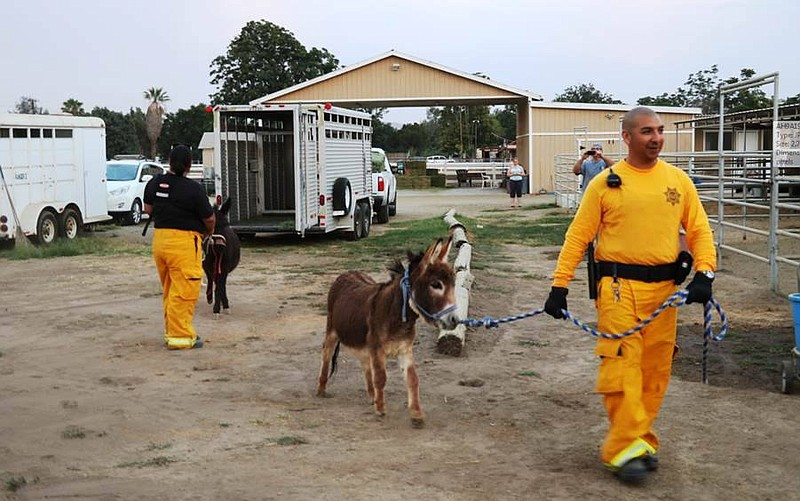 A miniature donkey moved to safety by the San D...