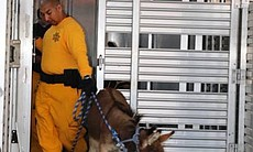 A miniature donkey moved to safety during the J...