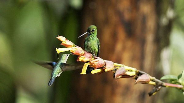 Green-crowned brilliant (Heliodoxa jacula) eyes an approa...