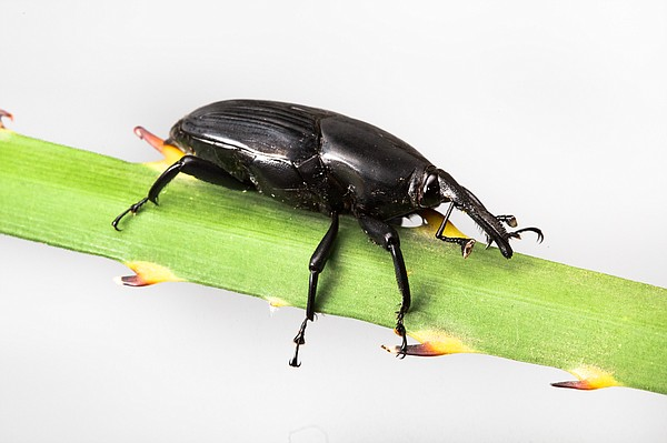The South American palm weevil is pictured in this undated photo.