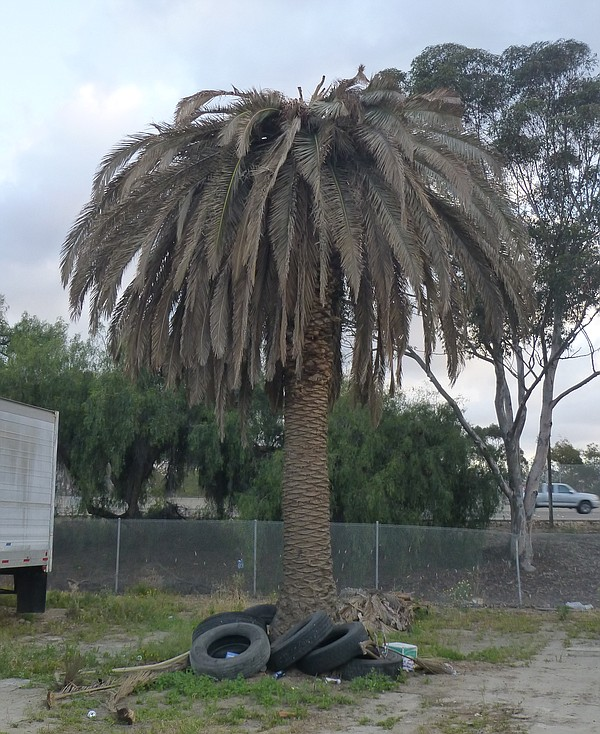 A palm killed by the palm weevil in San Ysidro.