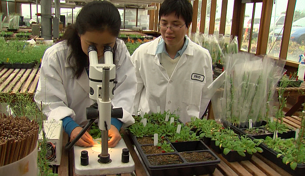 Liang Song and Carol Huang study the Arabidopsis Plant at...