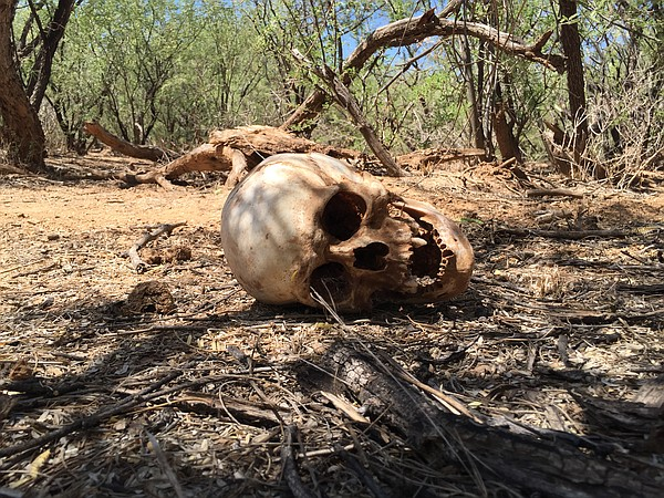 A human skull lies in the Arizona desert, Sept. 2, 2016.