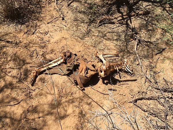 A human spine and legs lie in the Arizona desert, Sept. 2...