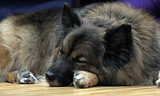 Pepper meditates, or maybe sleeps, during a Wellbeing for Dogs + Their Humans...