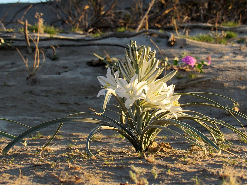 Desert lily. CREDIT: Sicco