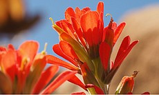 Wolly Indian paintbrush. CREDIT: Anza-Borrego Wildflower Guide