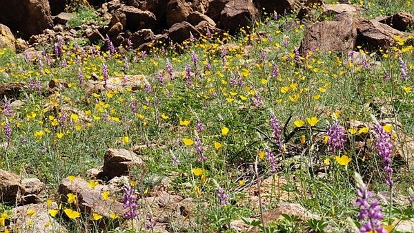 Parish's poppies and Arizona lupine wildflowers have bloomed in the western c...