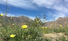Desert wildflowers in bloom near Borrego Springs, March 10, 2017.