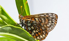 An adult Quino checkerspot butterfly is shown i...